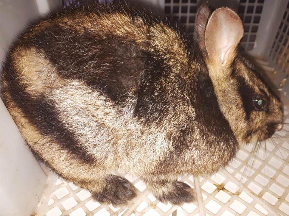 kelinci sumatra, kelinci sumatera, kelinci belang, kelinci belang sumatra